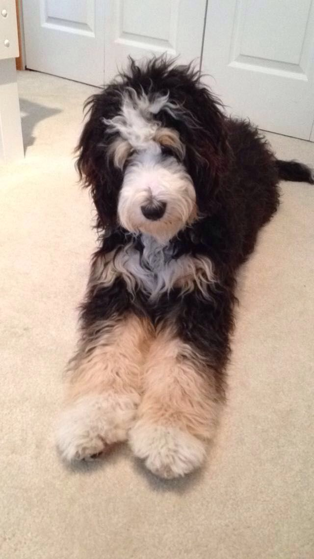 Pin By Alicia Bunting On Animals Bernedoodle Puppy Cute Animals Bernese Mountain Dog Poodle
