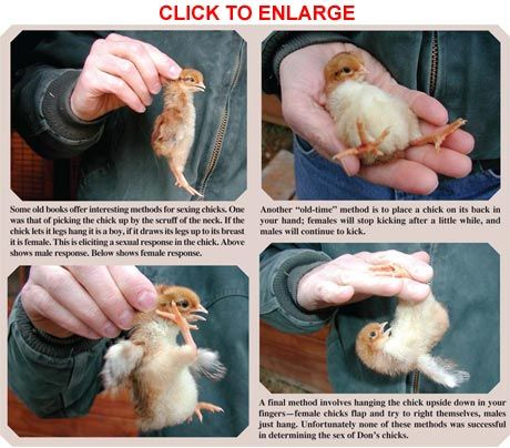 Determining Sex in Chicks by Don Schrider from the June/July, 2011 issue of Backyard Poultry   Raise Backyard Chickens with Backyard Poultry Magazine