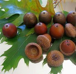Acorns - thought they taste bitter, you can remove the…