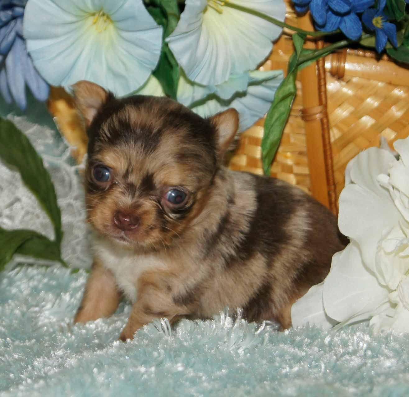 Great Chocolate Brown Adorable Dog - 1f02f8623215f4176b13f675d82549c7  2018_386739  .jpg