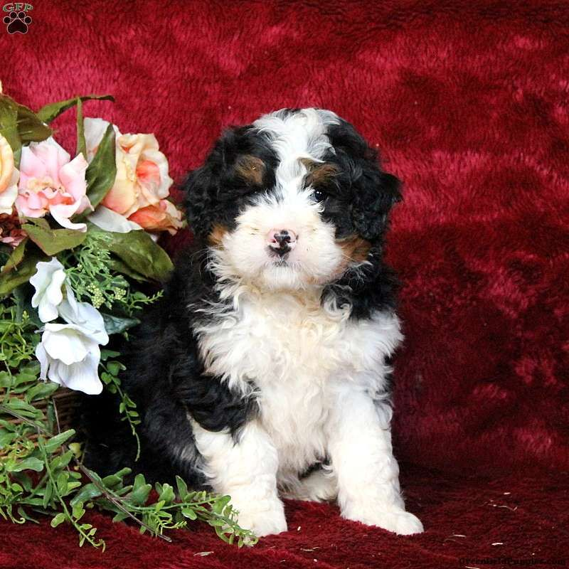 Kent Mini Bernedoodle Puppy For Sale In Pennsylvania