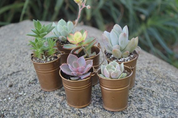 Wedding Favor Succulents 110 with 110 Pails Perfect for Wedding Party Favors vintage succulent pail flowers