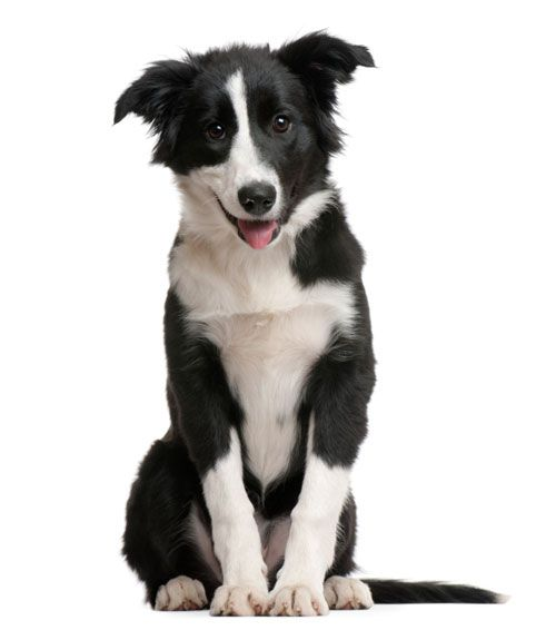 32 Questions Your Vet Wishes You Would Ask About Your Dog Collie Puppies Dog Advice Collie