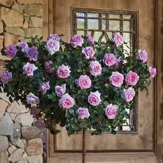 Enchanted Evening 36 Inch Tree Rose Rose Trees Rose Bushes For Sale Patio Trees