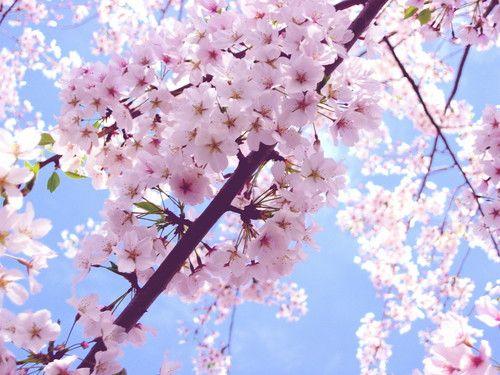 Cherry Blossom Photo Beautiful Cherry Blossom Cherry Blossom Wallpaper Cherry Blossom Flowers Cherry Blossom Washington Dc