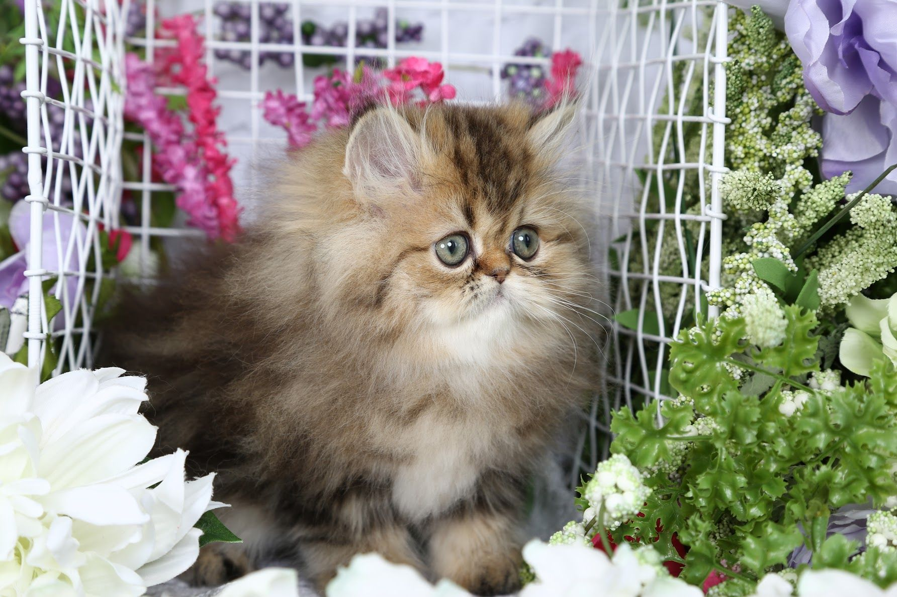 Aubree Click Here Cute cats, dogs, Persian kittens for