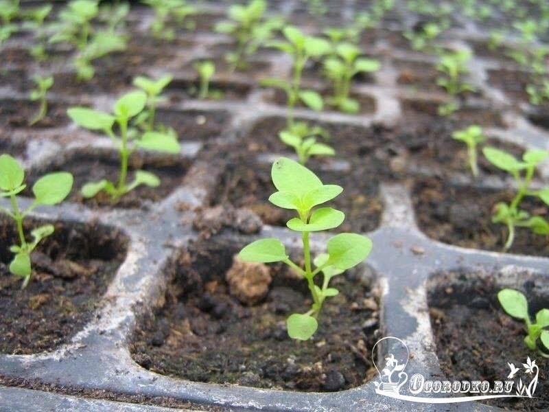 в каком возрасте высаживают рассаду капусты