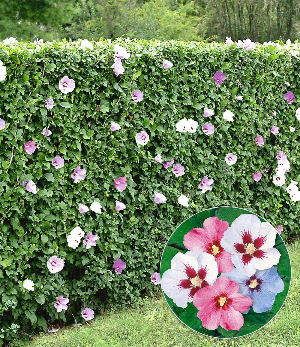 Hibiskus Hecke Garten Pinterest