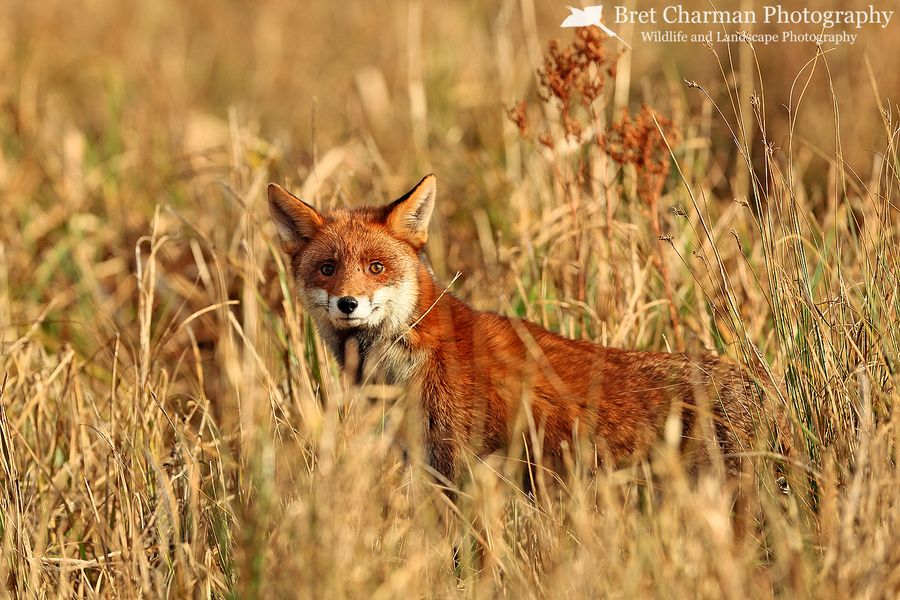 Red Fox, Vulpes vulpes by Bret Charman