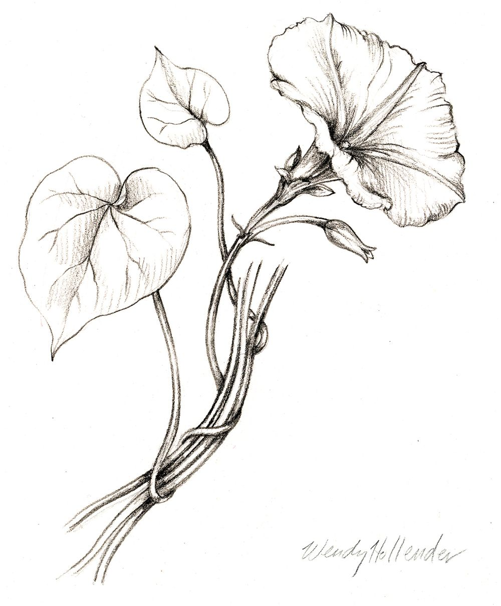 Morning Glory. From the collection of botanical