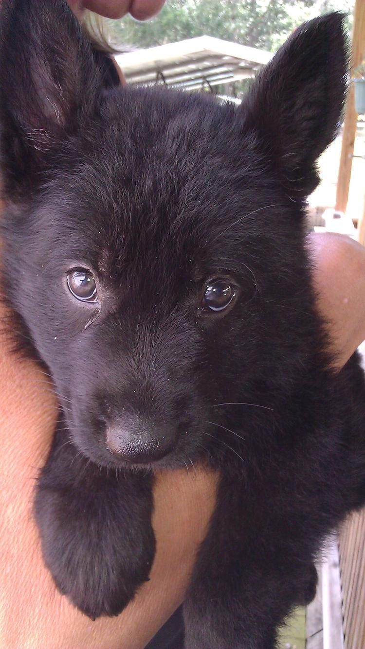 oh my! All black German Shepard puppy. Looks just like my dog that passed away when he was a puppy :(