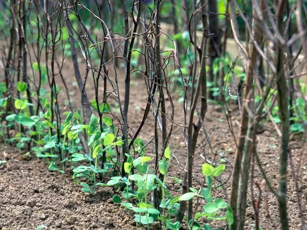 How to Support Pea Plants