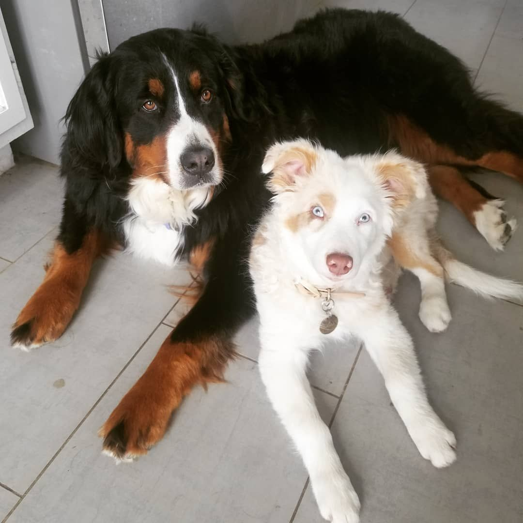 Carman Aussies 2018 Puppy Opal With Her Best Friend Bernese Mountain Dog Australian Shepherd Puppies Australian Shepherd Dogs
