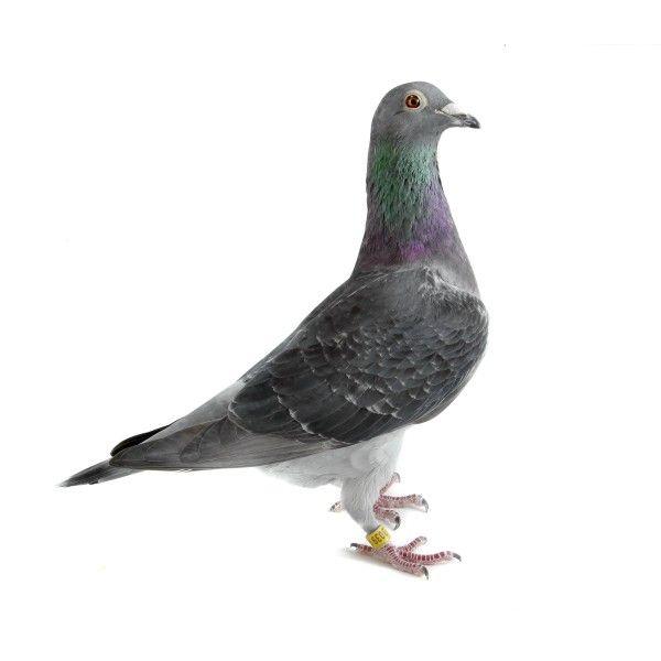 Dark Check Homing Pigeon on White | RACING PIGEONS | Homing
