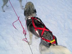 Dog Pulling Harnesses Resha Sled Dog Equipment Dog Equipment