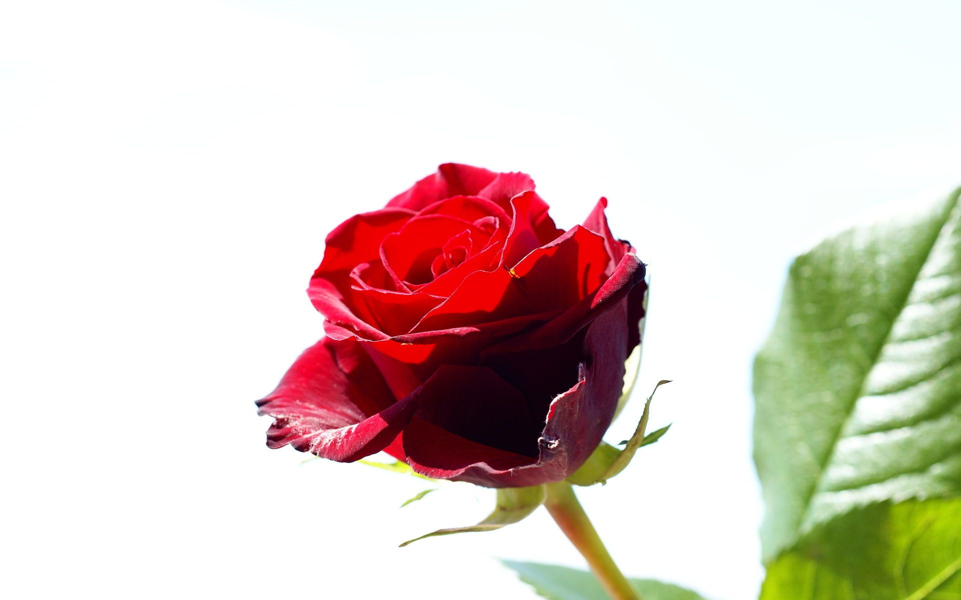Rose Flowers Red Wallpaper Background