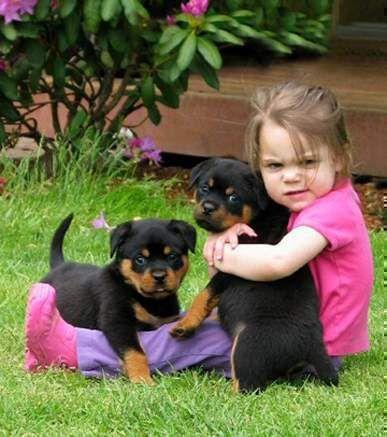 Thailand Rottweilers Rottweiler Puppies Rottweiler Rottweiler Dog
