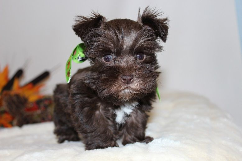 Toy Teacup And Miniature Schnauzer Puppies For Sale Oklahoma Schnauzer Puppy Miniature Schnauzer Puppies Miniature Schnauzer