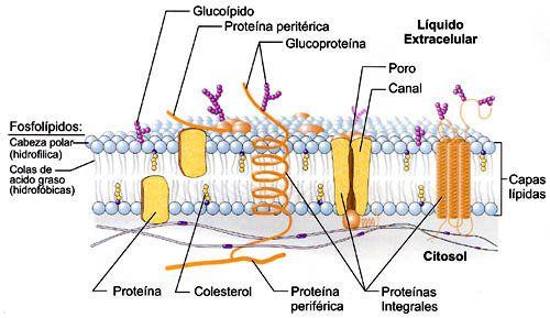La Membrana Plasmatica Estructura Membrana Plasmatica Trucos Para La Universidad Quimica