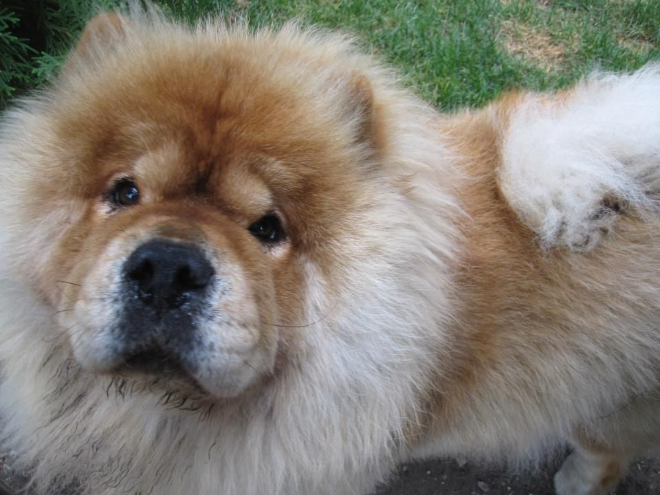 Chucky He S My Fave Neighbor He S 2 Dogs Chow Chow Dogs