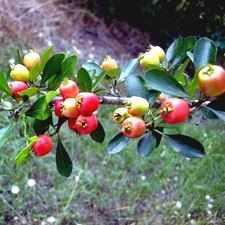 Georgia Red Mayhaw Tree Trees Free Video Low