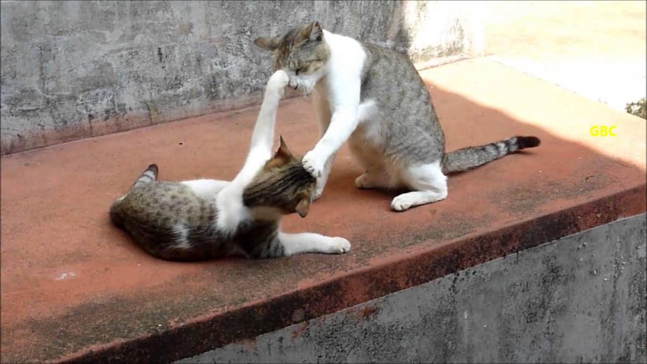 Kitten keeps on irritating mama cat cat videos pinterest