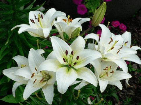 Fantastis 24 Contoh Gambar Bunga Asoka Bunga Pengertian Bagian Bagian Jenis Dan Fungsinya 9 Cara Agar Bunga Asoka C Di 2020 Kembang Sepatu Menanam Bunga Bunga Tulip