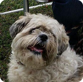 St Ann Mo Lhasa Apso Meet Chewie A Dog For Adoption Http