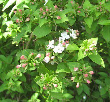 Abelia Mosanensis Garden Shrubs Plants Garden Shrubs Blush Roses