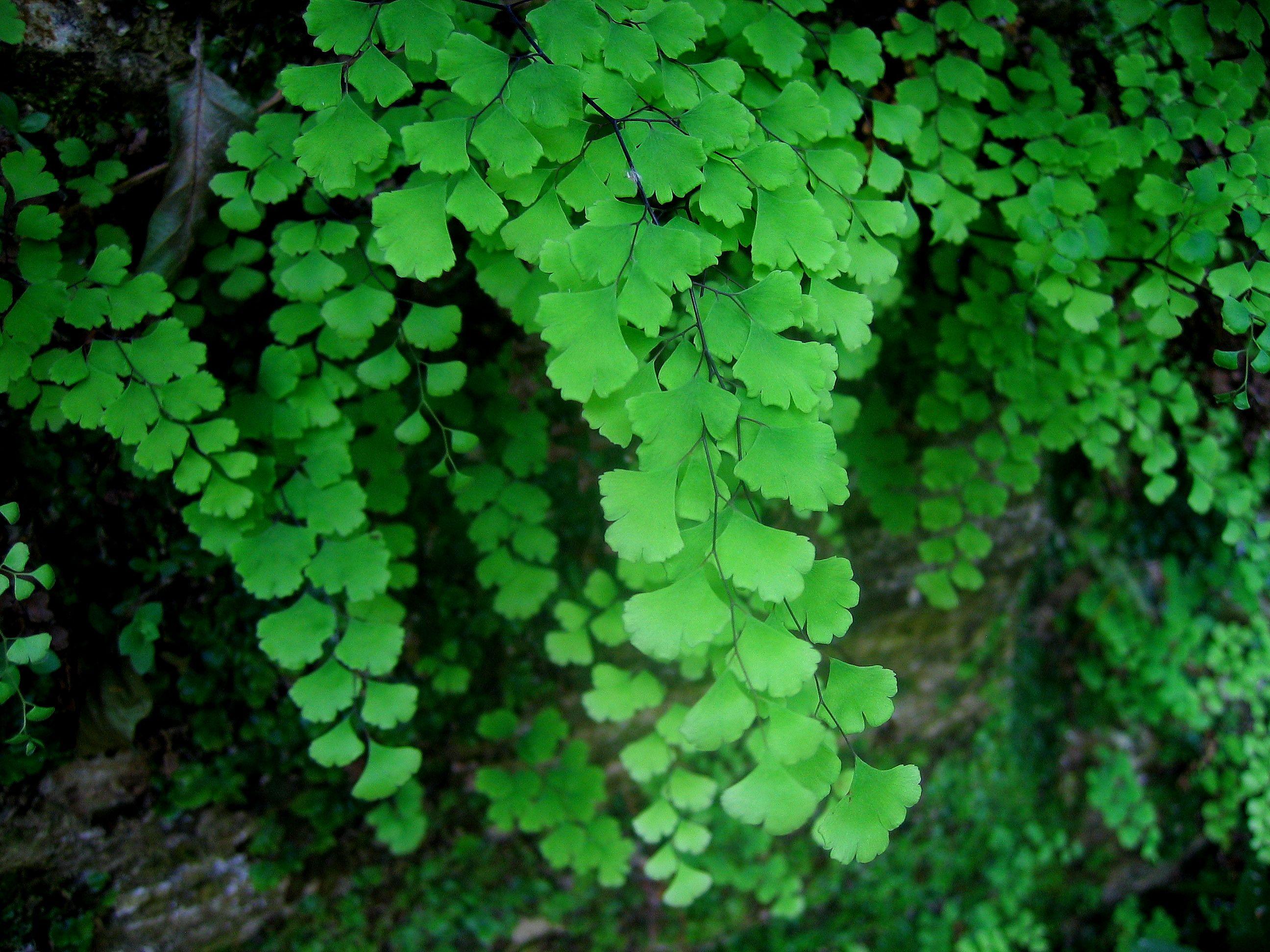 Adiantum capillus veneris son helechos de tallos negros y - Plantas de hojas verdes ...