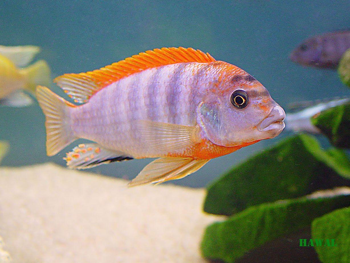 Labidochromis Hongi Red Top Hledat Googlem Cichlid Fish African Cichlids Cichlids