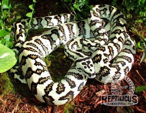 Hypo Jaguar Carpet Python Beautiful Snakes Snake Reptiles