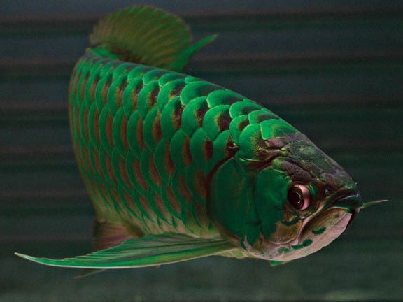 Green arowana high quality super red and the 24k gold for Arowana fish for sale online