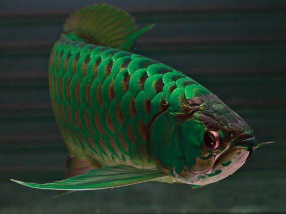 Green Arowana ปลาสวยงาม ตกปลา ปลาคราฟ