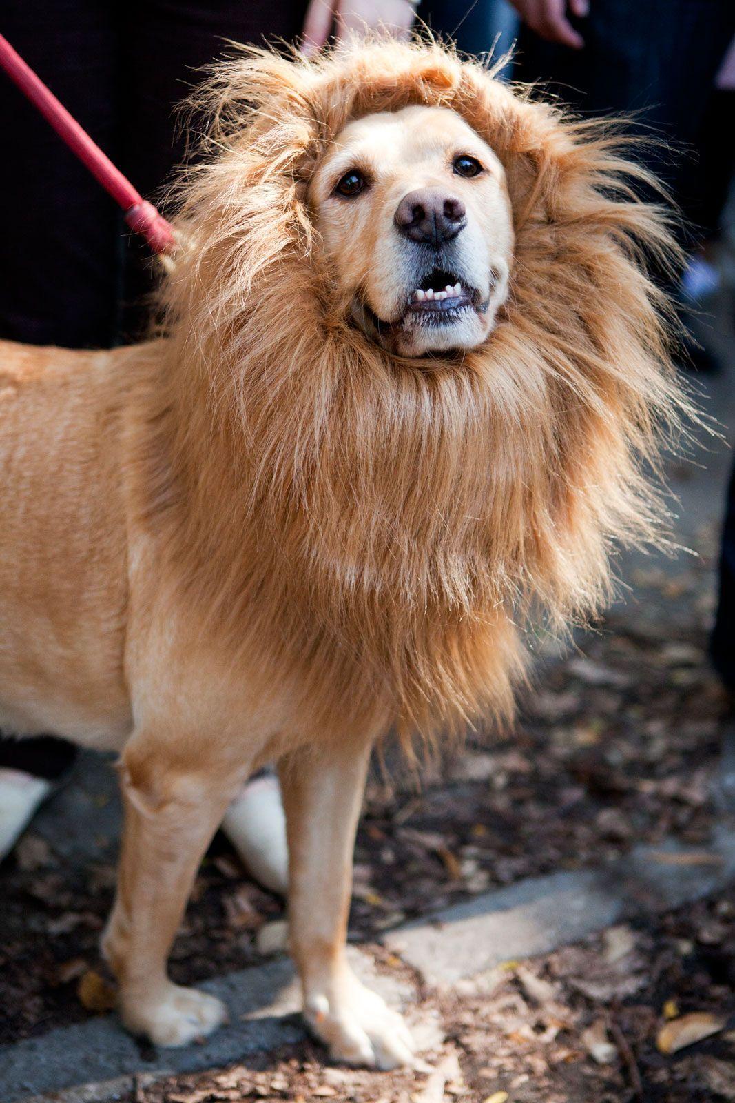 lion costume for dog