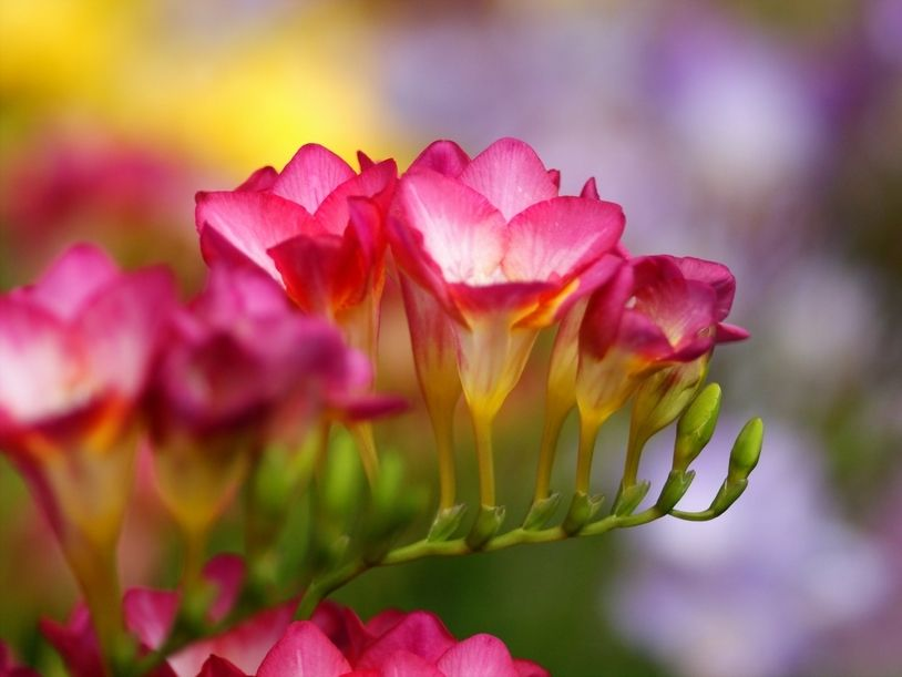 Фрезия - My Garden   Цветы и Сад