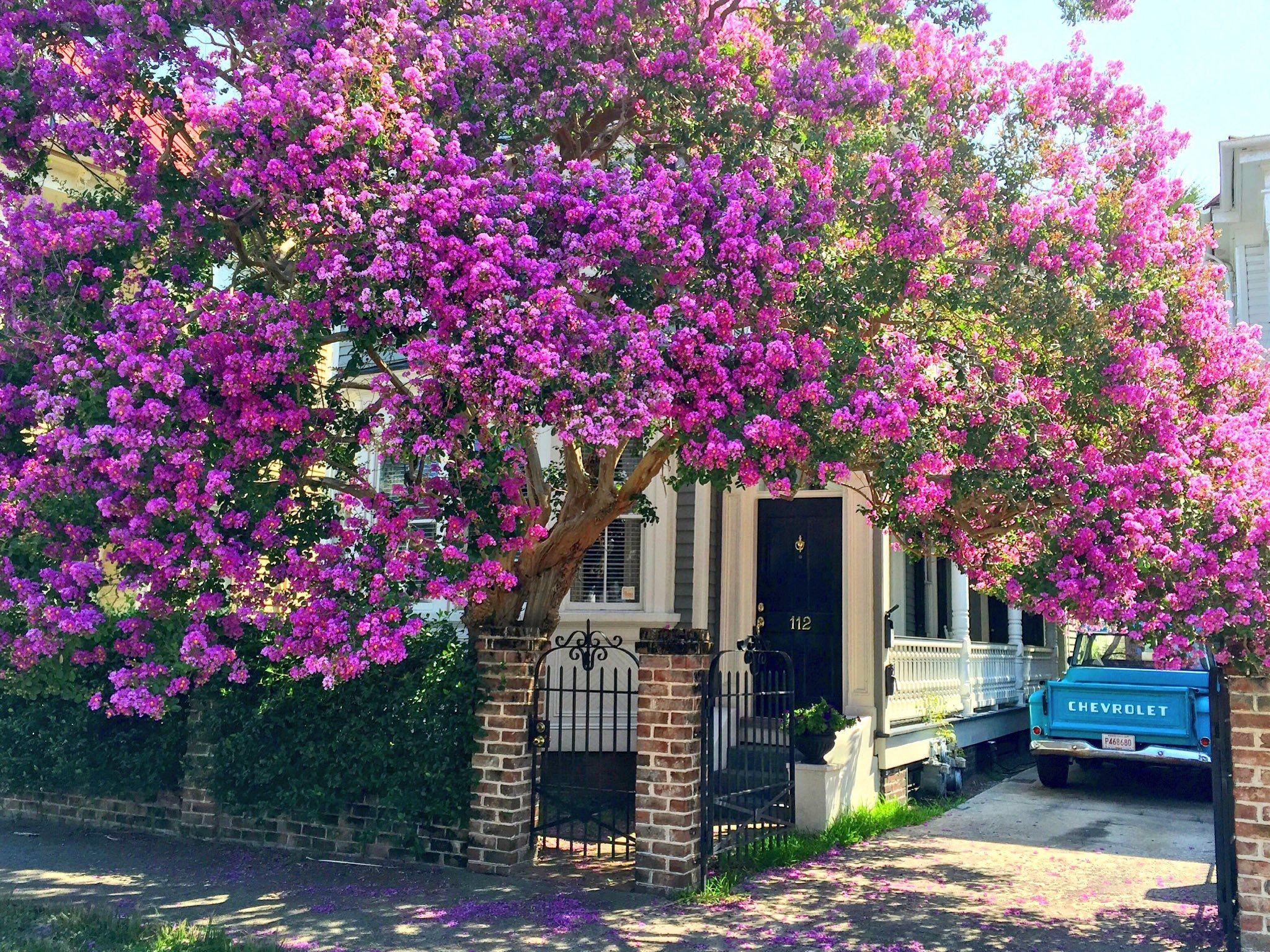 ***Crepe myrtle in full bloom, Charleston, SC East coast