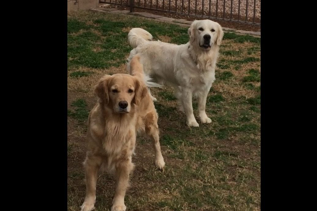 Sandy Marin Has Golden Retriever Puppies For Sale In Peoria Az On Akc Puppyfinder In 2020 Retriever Puppy Puppies For Sale Golden Retriever