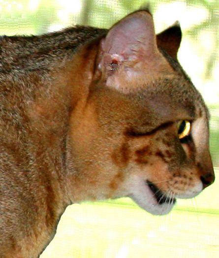 Mokave Jag Cat