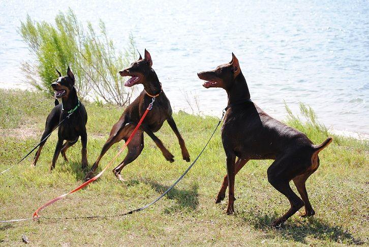 How To Train Your Doberman Pinscher Dog Doberman Pinscher