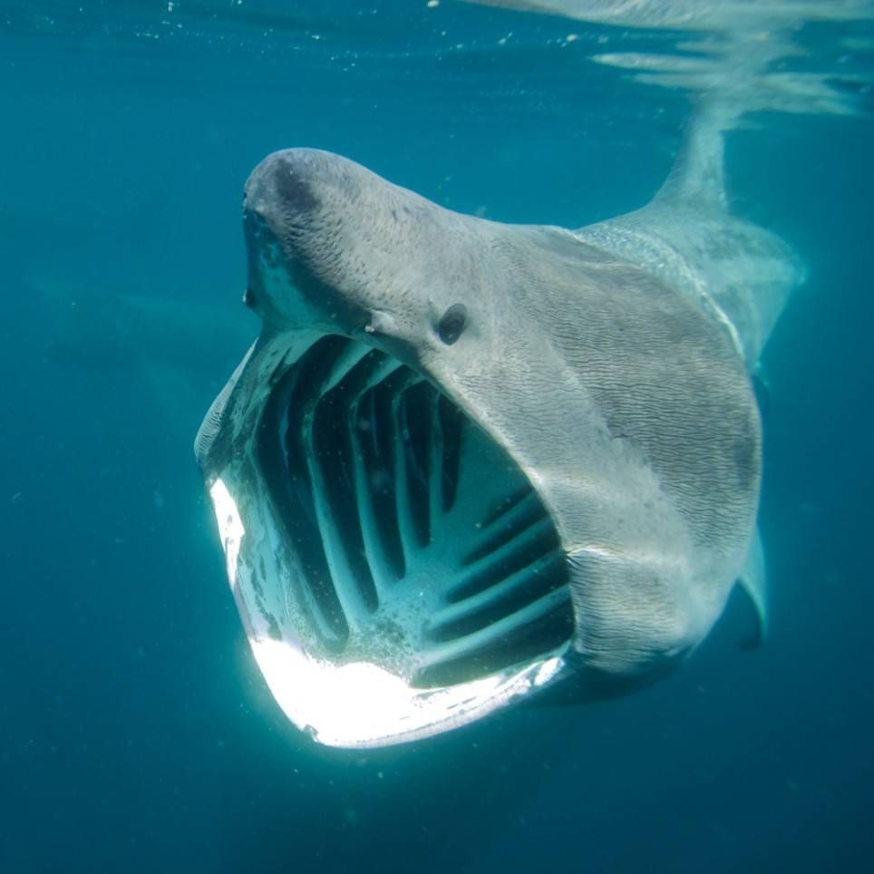 the basking shark cetorhinus maximus is the second largest fish