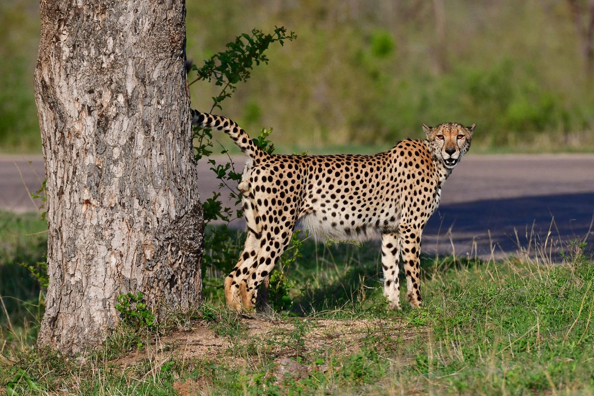 Cheetahs Of The Kruger National Park Are Not Easy To Find Kruger National Park Wild Dogs Cheetahs