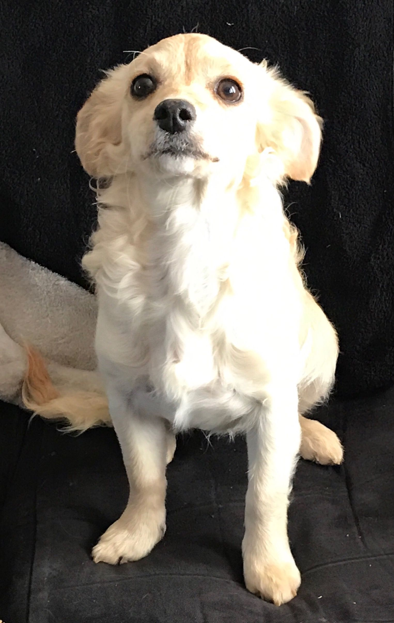 Doodle Dog For Adoption In Columbia Md Adn 521061 On Puppyfinder