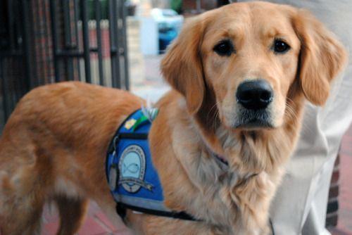 Buzzfeedanimals Meet The Comfort Dogs A Team Of Five Golden