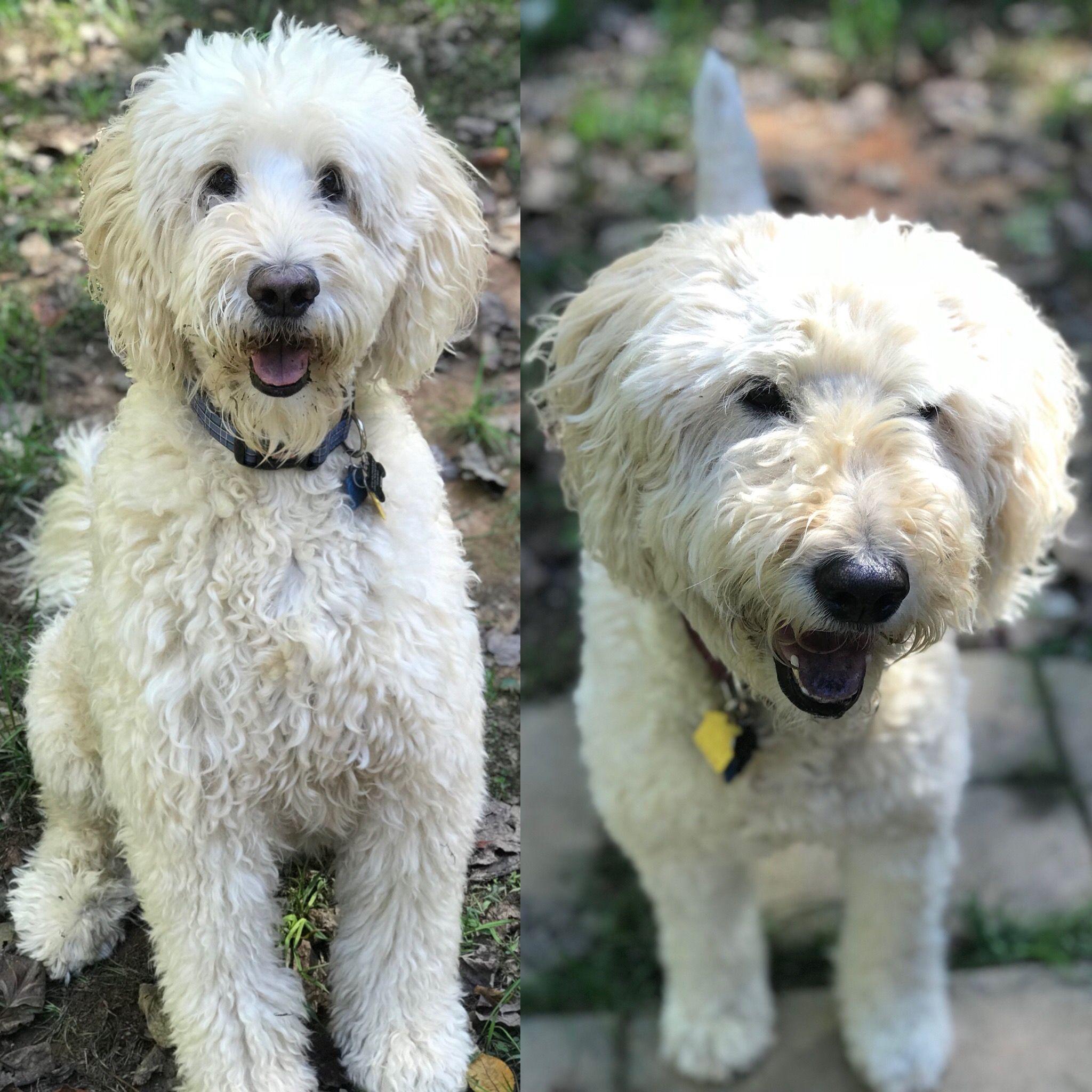 Goldendoodle dog for Adoption in Forest, VA. ADN711250 on