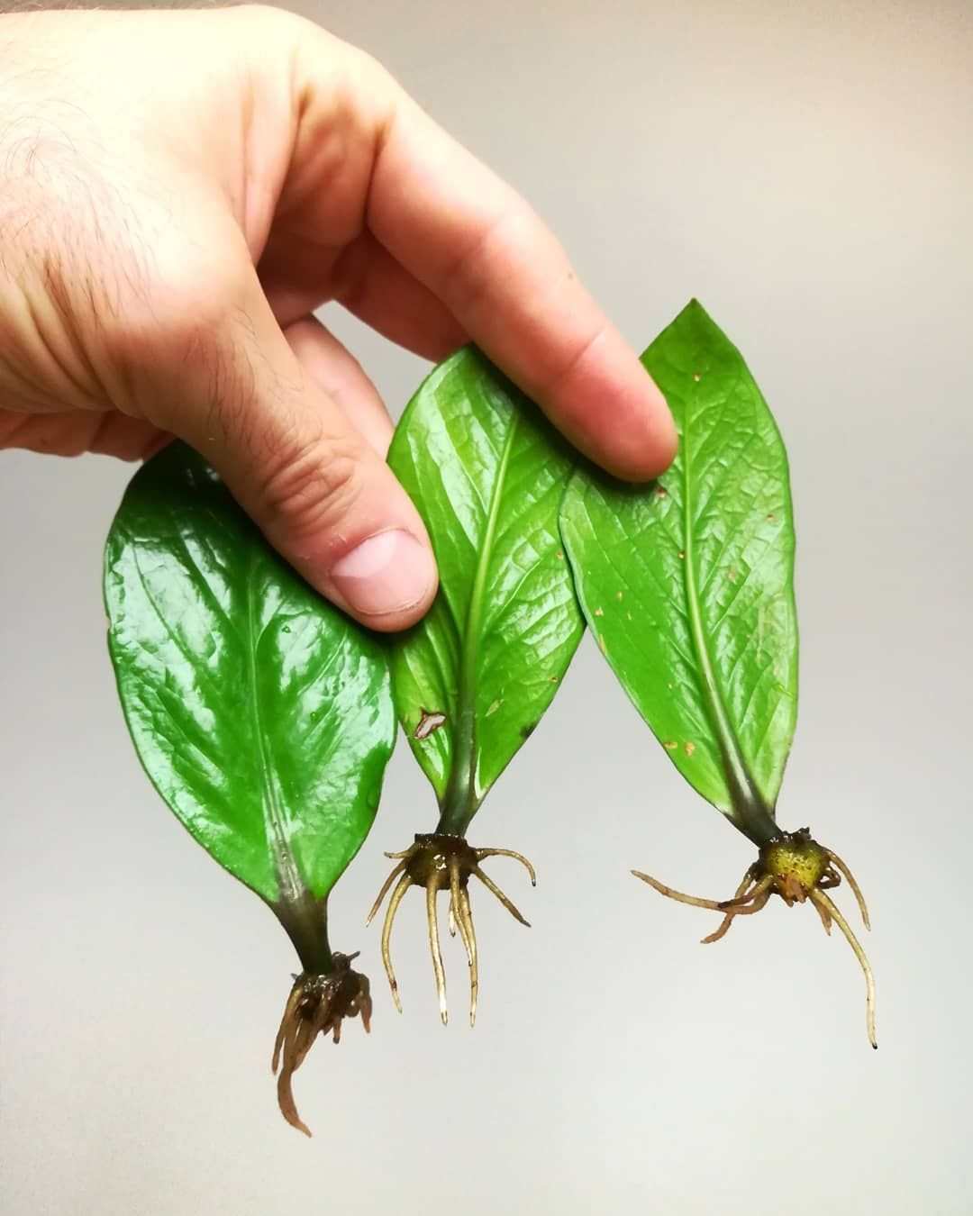Best 12 Propagating A Zz Plant Rooting Stem Cuttings In Water 5 Steps Skillofking Com Zz Plant Care Plant Care Plants
