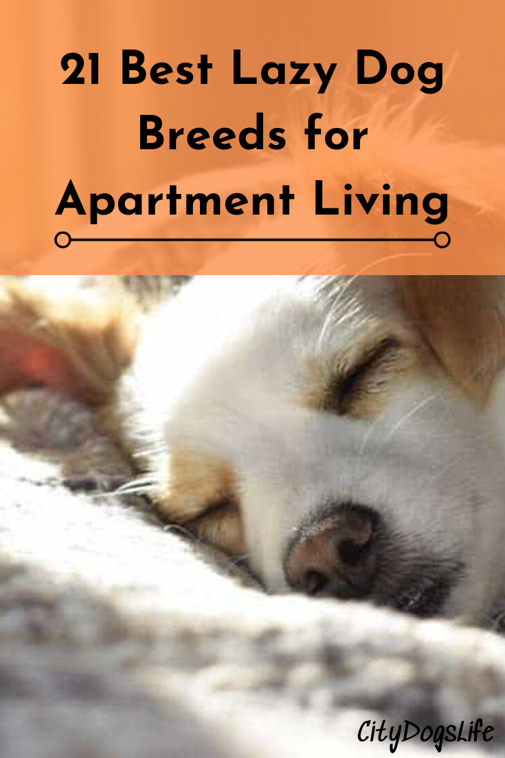 21 Best Lazy Dog Breeds For Apartment Living With Images Lazy Dog Breeds Apartment Dogs Breeds Lazy Dog