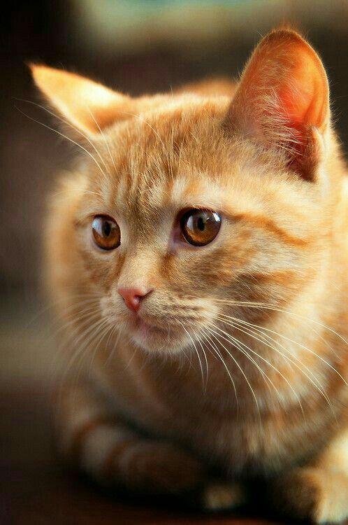 Amber Eyes Orange Tabby Cats Pretty Cats Cute Cats