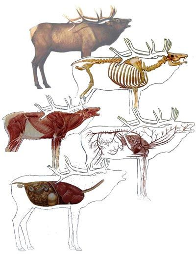 Elk Anatomy Hunting Butchering Pinterest Elk Anatomy And Elk