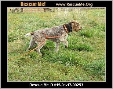 Washington Wirehaired Pointing Griffon Rescue Adoptions